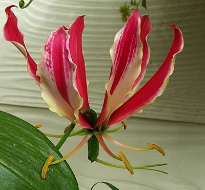 Photograph - Gloriosa Lily by Nancy Pauling