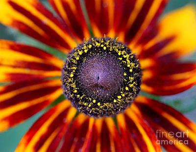 Photograph - Gloriosa Rudbeckia Close-up by Karen Adams