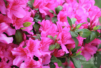 Royalty-Free and Rights-Managed Images - Glorious Azaleas by Carol Groenen
