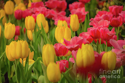 Photograph - Glorious Bed Of Tulips by Elizabeth Dow