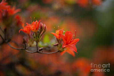 Azalea Photograph - Glorious Blooms by Mike Reid