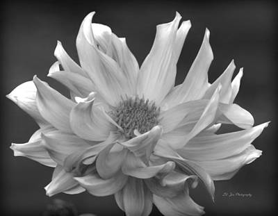 Photograph - Glorious Dahlia by Jeanette C Landstrom