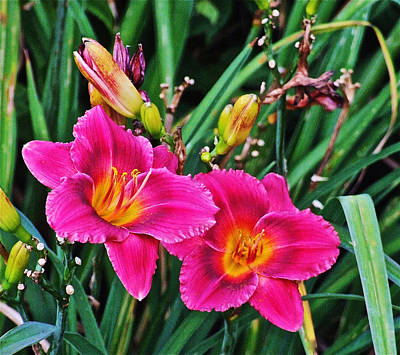 Photograph - Glorious Daylilies by Janis Nussbaum Senungetuk