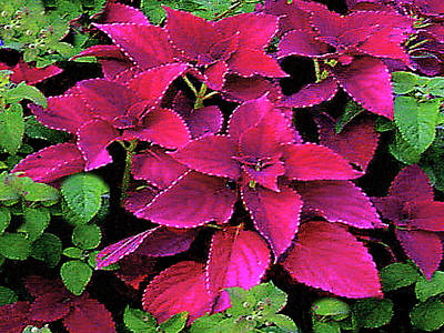 Photograph - Glorious Display - Poinsettia by Merton Allen