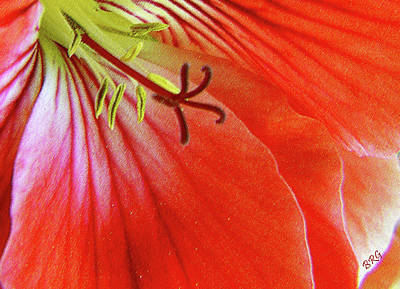 Photograph - Glorious Geranium by Ben and Raisa Gertsberg