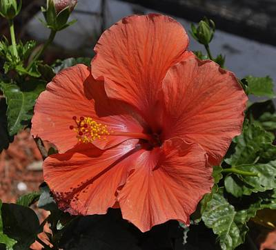 Photograph - Glorious Hibiscus by Sandy Poore