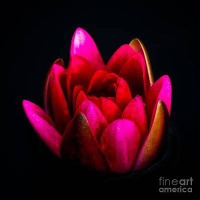 Lilies Wall Art - Photograph - Glorious Lily by Adrian Evans
