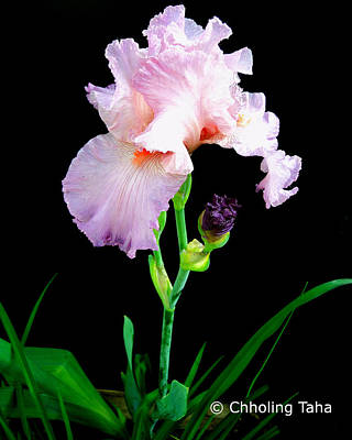 Photograph - Glorious Pastel Iris by Chholing Taha