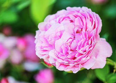 Photograph - Glorious Pink Rose Closeup by Vishwanath Bhat
