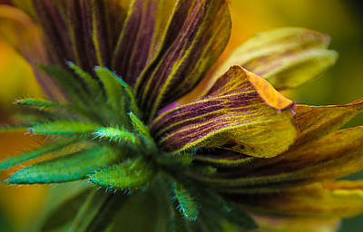 Photograph - Glorious Rudbeckia Daisy by Julie Palencia