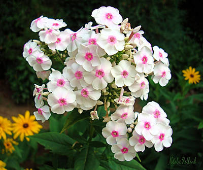 Photograph - Glorious Summer Phlox by Natalie Holland