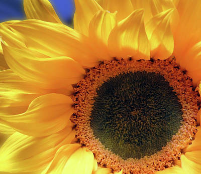 Glorious Sunflower Art Print