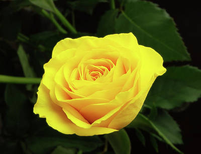 Glorious Yellow Rose Art Print