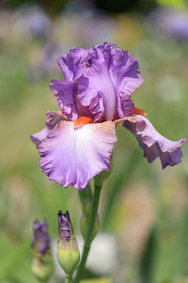 Photograph - Glory Bound. The Beauty Of Irises by Jenny Rainbow