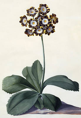 Flora Drawing - Glory Of Chilton by Georg Dionysius Ehret