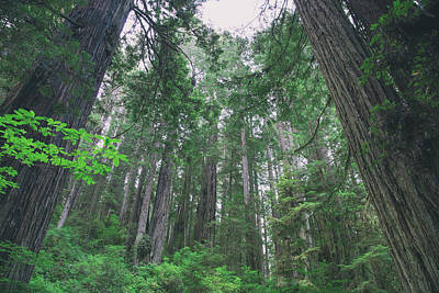 Photograph - Glory Of The Redwoods by Kunal Mehra