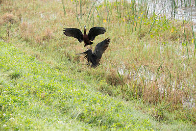 Photograph - Glossy Ibis Battle 1 by Michael Gooch