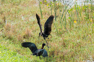 Photograph - Glossy Ibis Battle 4 by Michael Gooch