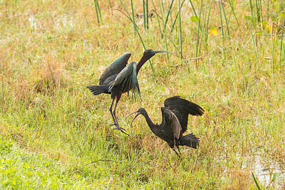 Photograph - Glossy Ibis Battle 5 by Michael Gooch