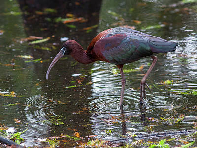 Ibis Mixed Media - Glossy Ibis by Capt Gerry Hare
