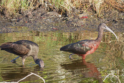 Photograph - Glossy Ibis by David Cutts