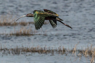 Clouds Royalty Free Images - Glossy Ibis Flight #2 Royalty-Free Image by Patti Deters