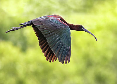 Photograph - Glossy Ibis Flight by Art Cole