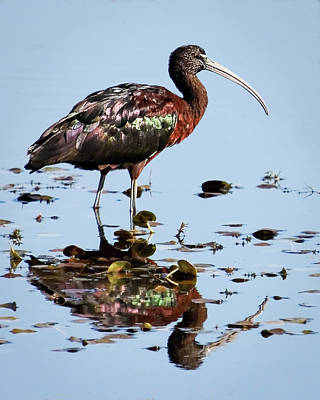 Photograph - Glossy Ibis II by Dawn Currie
