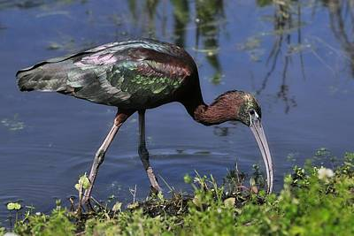 Photograph - Glossy Ibis In Pond by Bradford Martin