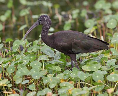 Photograph - Glossy Ibis by Jack Nevitt
