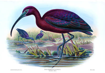 Ibis Drawing - Glossy Ibis Antique Bird Print John Gould Hc Richter Birds Of Great Britain  by Orchard Arts