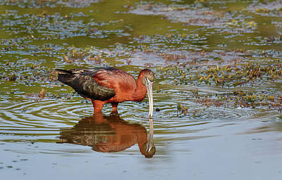 Photograph - Glossy Ibis by Les Greenwood
