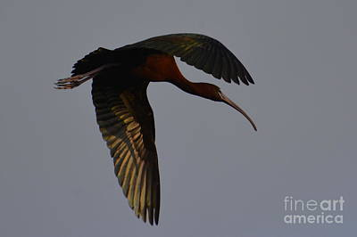 Glossy In Flight Art Print
