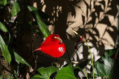 Photograph - Glossy Scarlet Heart In The Shadows - An Elegant Anthurium Flower by Georgia Mizuleva