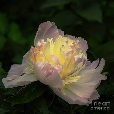 Photograph - Glow Within A Peony by Eunice Miller
