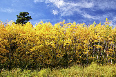 Photograph - Glowing Aspen Grove by Carolyn Derstine
