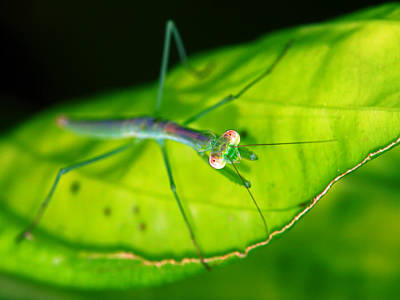 Photograph - Glowing Baby Mantis by Carolyn Derstine