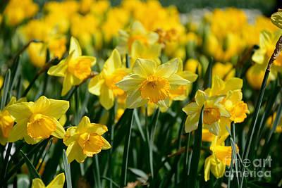 Genus Photograph - Glowing Daffodils By Kaye Menner by Kaye Menner