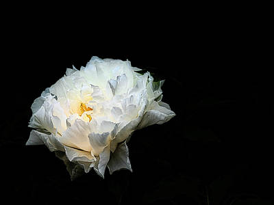 Photograph - Glowing Peony by David Kay