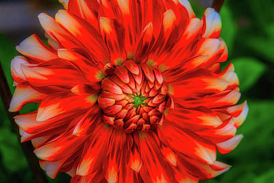 Photograph - Glowing Dahlia by Garry Gay