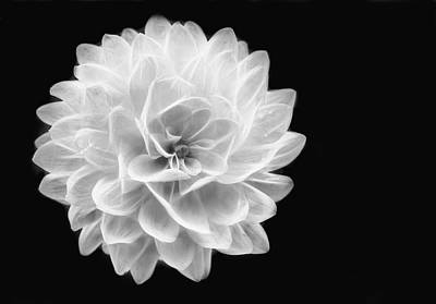 Photograph - Glowing Dahlia by Louise Lindsay