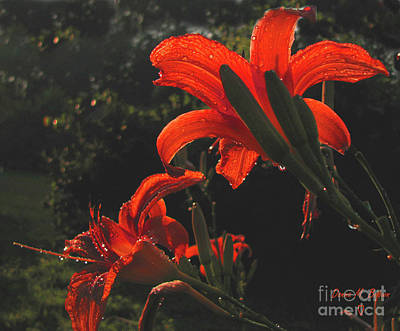 Photograph - Glowing Day Lilies by Donna Brown