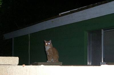 Photograph - Glowing Eyes Of Captured Cat by Stanley Morganstein