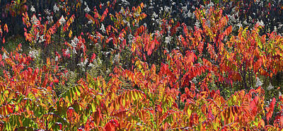Photograph - Glowing Fall Sumac Along Wisconsin Interstate by Ray Mathis