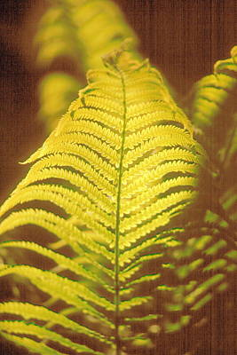 Photograph - Glowing Fern by Douglas Pike