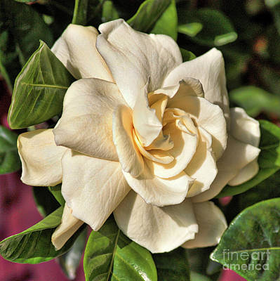 Photograph - Glowing Gardenia by Carol Groenen
