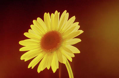 Photograph - Glowing Golden Daisy by Douglas Barnett