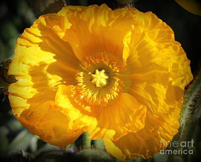 Photograph -  Golden Glowing Poppy by Dora Sofia Caputo Photographic Art and Design
