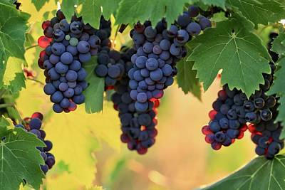 Photograph - Glowing Grapes 2 by Lynn Hopwood