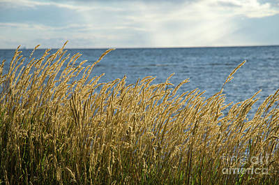 Photograph - Glowing Grass By The Coast by Kennerth and Birgitta Kullman